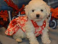 AKC Bichon Frise. The are ready to go and will be