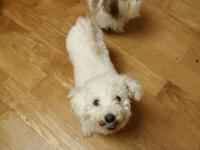 AKC REG. FEMALE BICHON 4 YRS OLD , STD. GREAT MOM. MUST