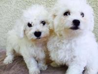 8 weeks old bichon frise puppies, have male only left.
