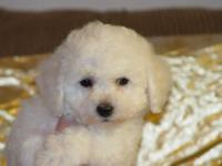 2 MALES LEFT - AKC REGISTERED - BICHON FRISE ANGELS -