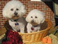 Bichon Frise - Cooper - Medium - Adult - Male - Dog
