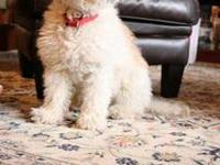 Bichon Frise - Diamond - Small - Adult - Female - Dog