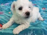 Candie is a female Bichon Frise with a beautiful white