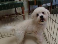 Bichon Frise - Happy Jack - Small - Young - Male - Dog