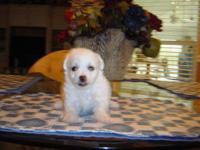 There are 3 Female and 2 Male Bichon Frise/ Jack