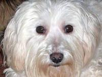 Bichon Frise - Lydia - Small - Senior - Female - Dog My