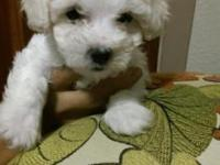 Hi I have 2 female Bichon Frise poodle puppies They