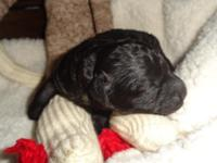 Jax is a gorgeous black Bichpoo puppy with white tipped