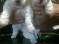 Hi I have a litter of mini poodle bichon frise