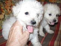 Bichon Frise pups...Two left out of litter of