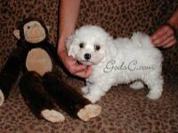 These are our last 2 male Bichon Frise puppies. They