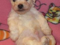 High quality Bichon Frise puppies. Come with double