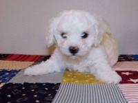 Birthed March 25, 2 Male, 2 Lady, AKC Registered with