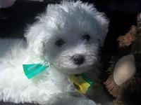 Bichon Frise Puppies ! Ready now! Beautiful, Healthy,