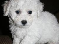 Beautiful hand raised Bichon Frise Puppies. One female,