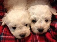 VALENTINES FOR YOU !!! Adorable Bichon Frise puppies