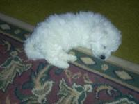 I have 4 bichon forsale. Very healthy and playful. They
