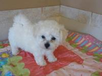 Roko is a playful registered Bichon Frise puppy. He is