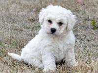 Bichon Frise puppies for sale. Female $350, male $300.