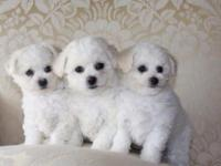 Bichon Frise puppies are ready to go. Non-