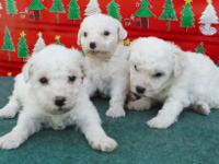 Bichon Frise Puppy Loves to PLAY!! 14 weeks, CKC reg,