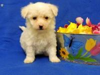 Beautiful, gorgeous litter of Bichon Frise, brought to