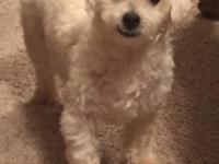 I have a seven months old AKC Bichon. I bought him for