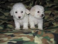 One boy left! Taking reservations for purebred Bichon