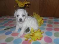 Bichon Frise Puppys AKC registered. 2 girl's and 2