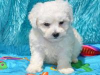 Bichon Frise Purebred Puppies. Beautiful white fluffy