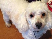 Bichon Frise - Shelly - Medium - Adult - Female - Dog