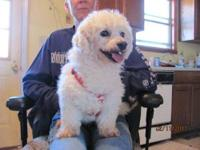 Bichon Frise - Willie - Small - Adult - Male - Dog