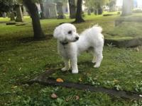 2 black and tan carrying blue no brindle merle BICHON