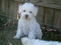 Beautiful snow white non-shedding dogs. Lively,