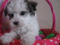 SOLD SOLD SOLD SOLD...CURLY CAVACHONS IN THE