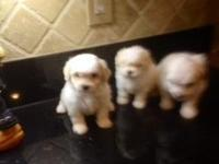 Beautiful puppies 2 males 1 female. Great temperaments,