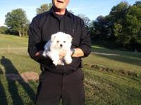 Here is an ADORABLE 2 lb Female Part Bichon and
