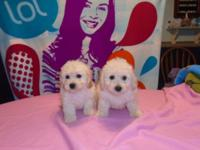 I have some beautiful bichon /poo puppies ready to go