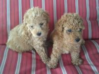 Our puppies are hypoallergenic, gentle, intelligent and