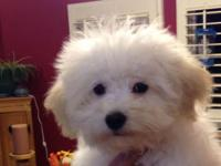 Gabrielle is a gorgeous fluffy white bichon she likes