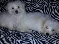 I have two male 11 week old pure bred Bichon Puppies.