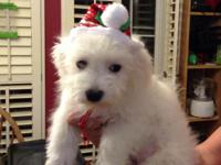 I have a baby bichon his name is fury he is a great