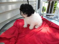 Bichonpoo, 8 weeks, First shots, vet checked, non