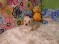 Bichon/Yorkie Puppy Male Felix 750.00 Felix is a