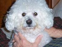 Bichon Frise - Gizmo - Small - Adult - Male - Dog