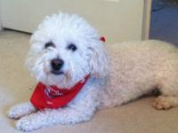 Bichon Frise - Isabelle - Small - Adult - Female - Dog
