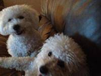 Want a hypo-allergenic, shed free pet? A Bichon Frise