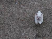 Bichon female puppy for sale no papers. I am just a