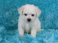 Our Bichon Frise puppies are adorable as a button. They