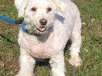 Bichon Frise - Toby - Small - Adult - Male - Dog Toby